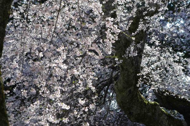 2015年飯田桜撮影ドライブ_22.jpg