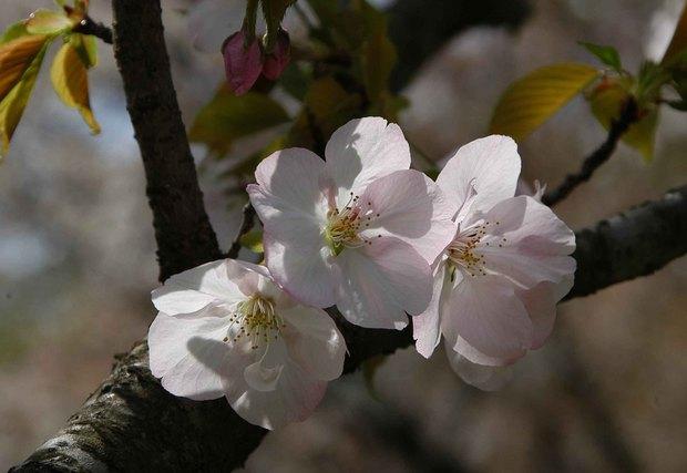 2016年_近所の春の花(2)_10.jpg