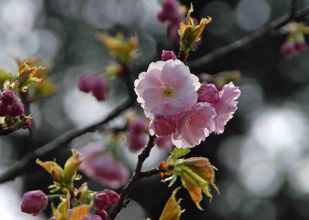 2016年_近所の春の花(2)_11.jpg
