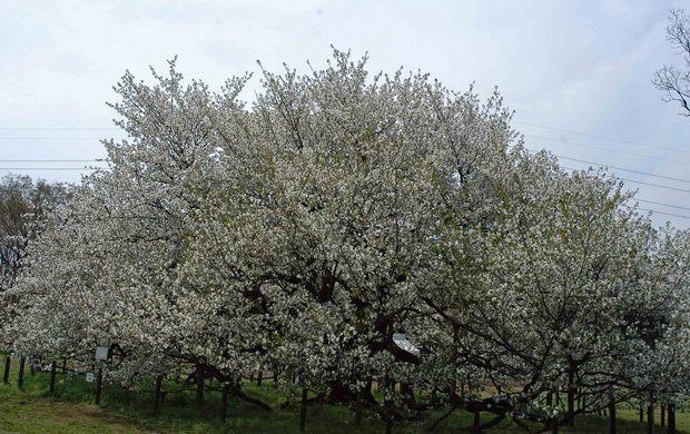 2016年_近所の春の花(2)_13.jpg