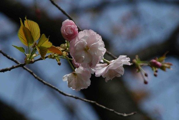 2016年_近所の春の花(2)_18.jpg