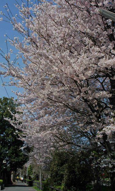 2016年_近所の春の花(2)_2.jpg