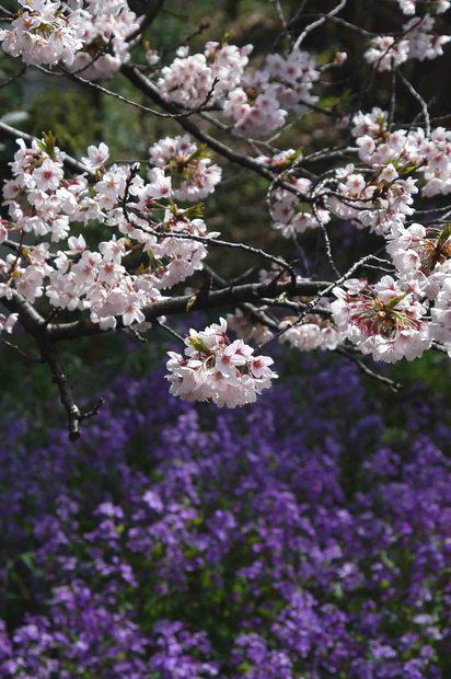 2016年_近所の春の花(2)_4.jpg