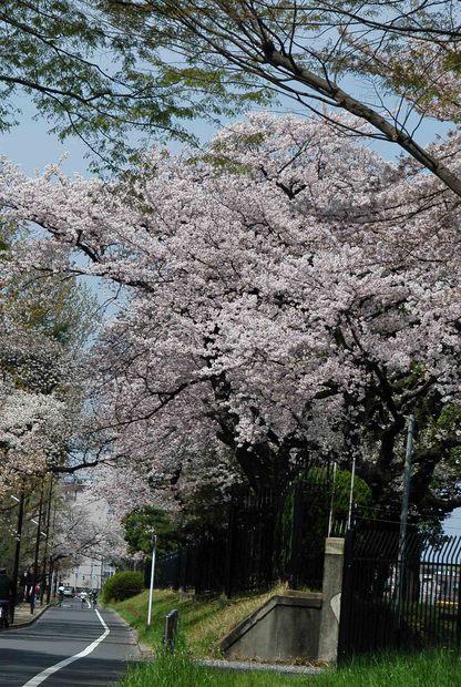 2016年_近所の春の花(2)_5.jpg