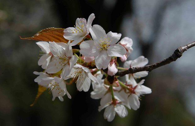 2016年_近所の春の花(2)_7.jpg