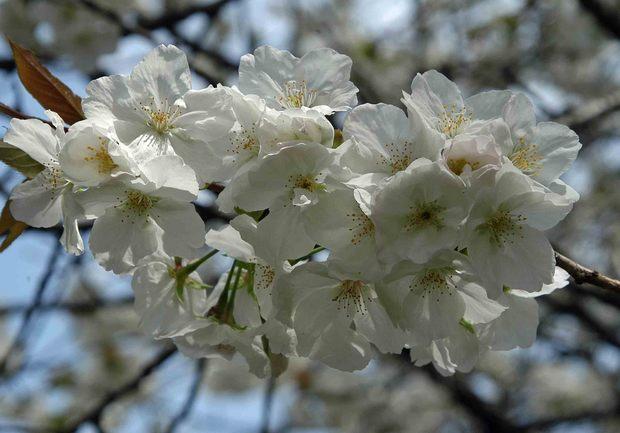 2016年_近所の春の花(2)_8.jpg