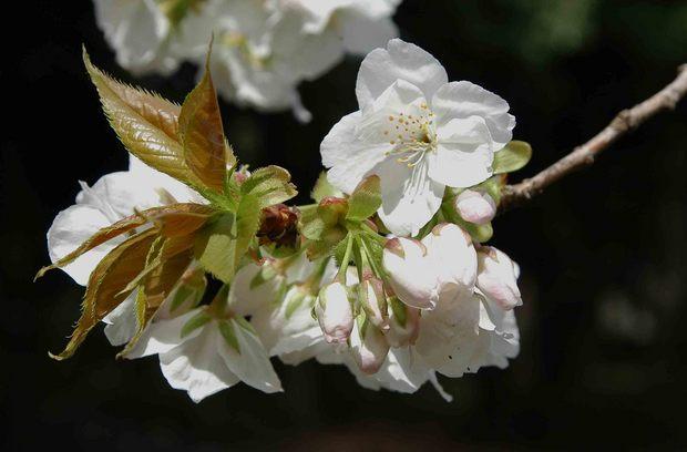 2016年_近所の春の花(2)_9.jpg