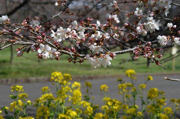 2016_近所の春の花_16.jpg