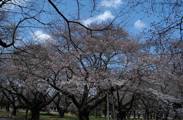 2016_近所の春の花_20.jpg
