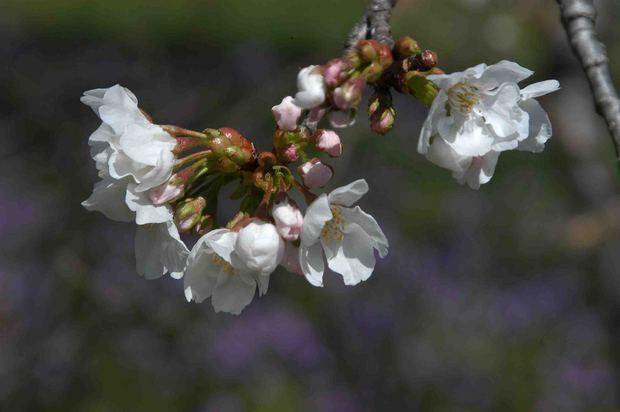 2016_近所の春の花_7.jpg