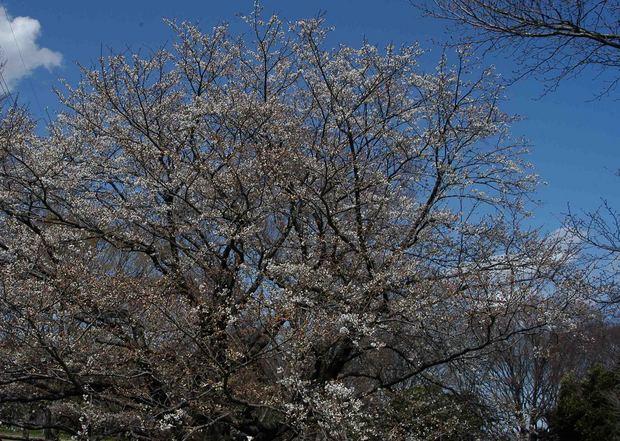 2016_近所の春の花_8.jpg
