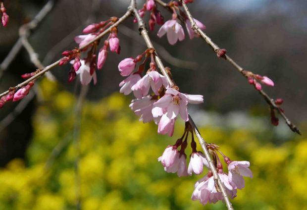 2016_近所の春の花_9.jpg