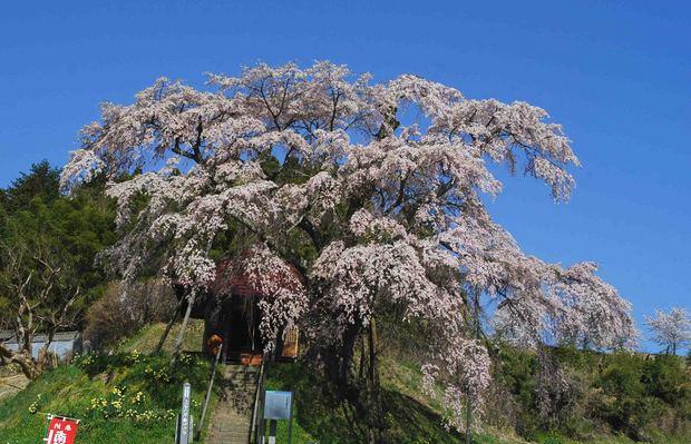 三春滝桜の子孫をたずねて_1.jpg