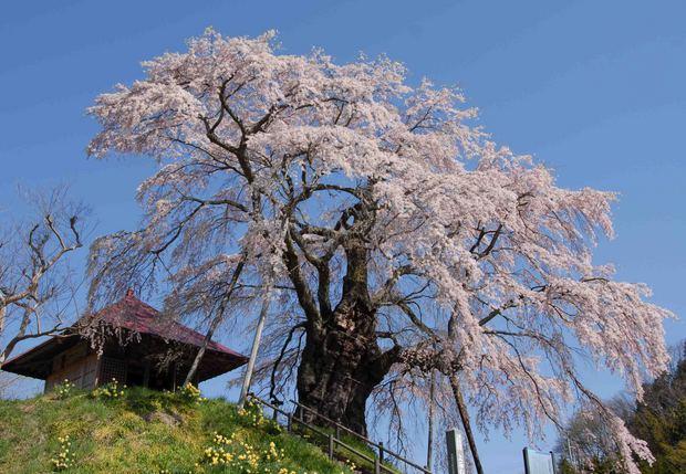 三春滝桜の子孫をたずねて_11.jpg