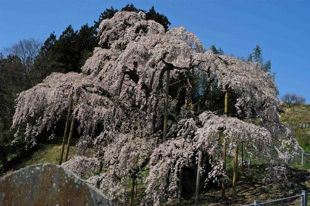 三春滝桜の子孫をたずねて_3.jpg
