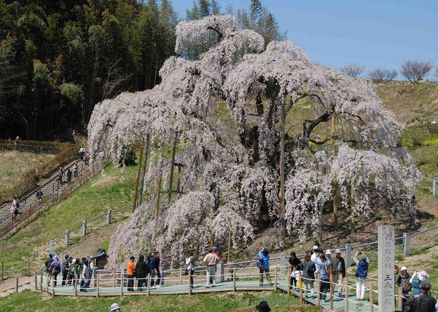三春滝桜の子孫をたずねて_31.jpg