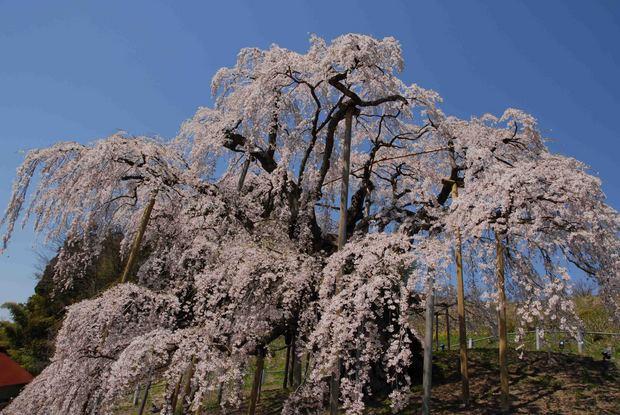 三春滝桜の子孫をたずねて_32.jpg