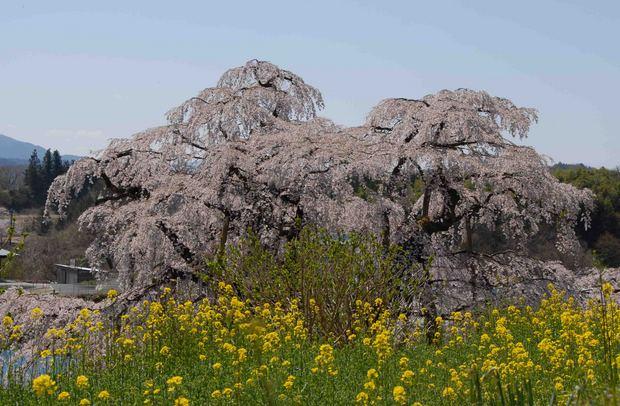 三春滝桜の子孫をたずねて_33.jpg