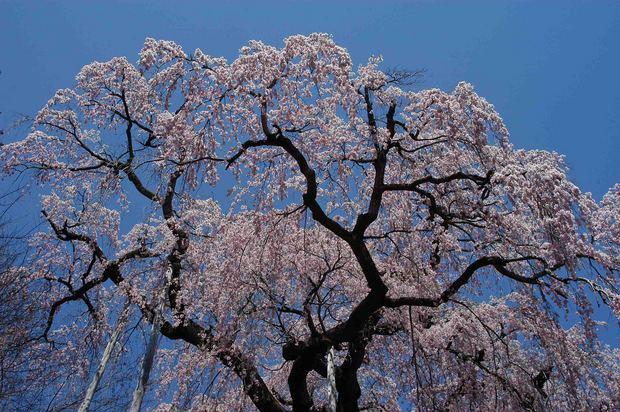 三春滝桜の子孫をたずねて_4.jpg