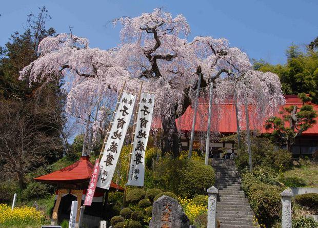 三春滝桜の子孫をたずねて_41.jpg