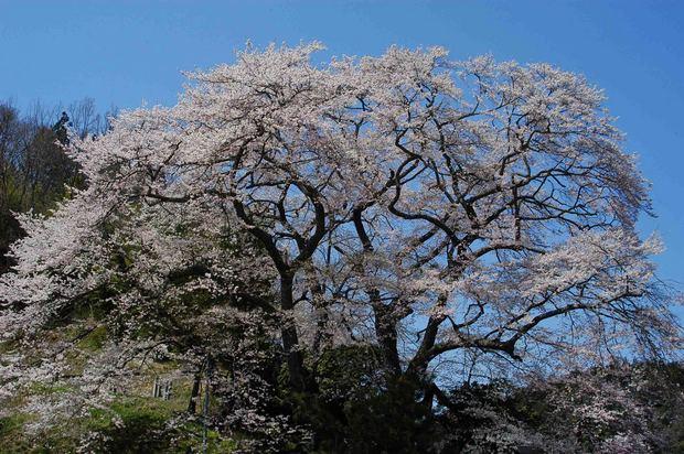 三春滝桜の子孫をたずねて_5.jpg
