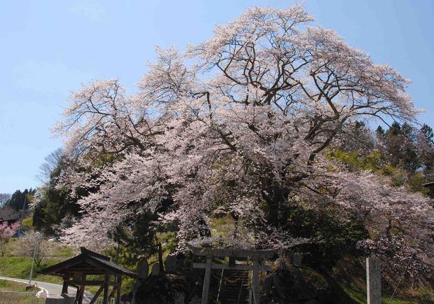 三春滝桜の子孫をたずねて_51.jpg