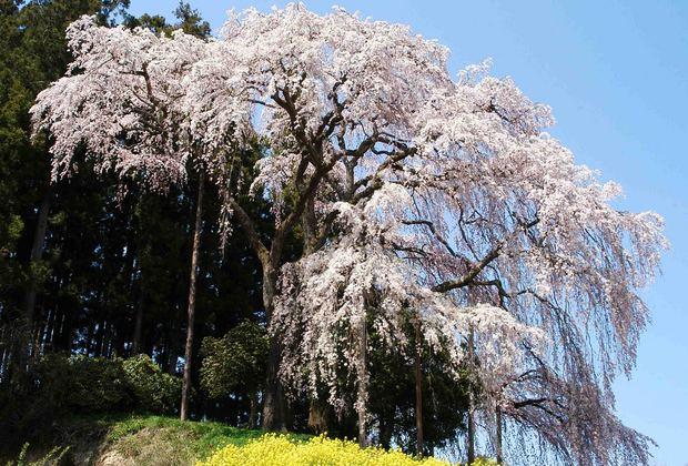 三春滝桜の子孫をたずねて_6.jpg