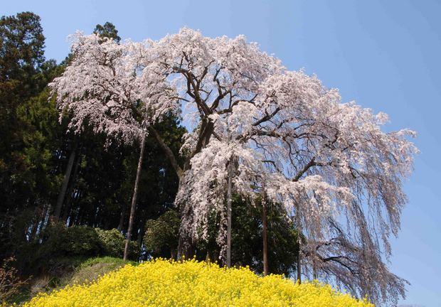 三春滝桜の子孫をたずねて_61.jpg