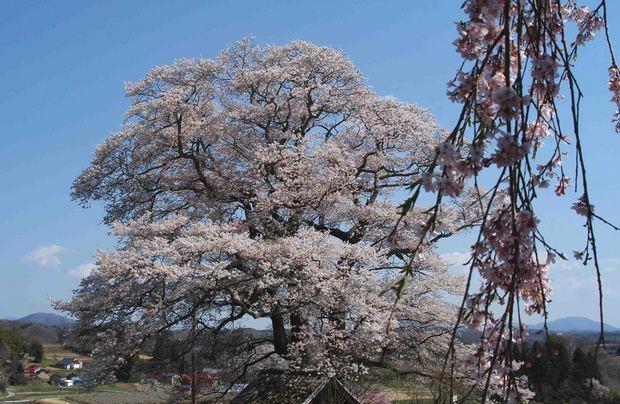 三春滝桜の子孫をたずねて_7.jpg