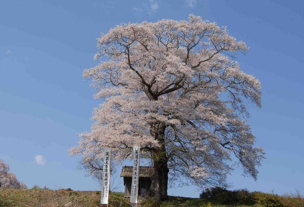 三春滝桜の子孫をたずねて_71.jpg
