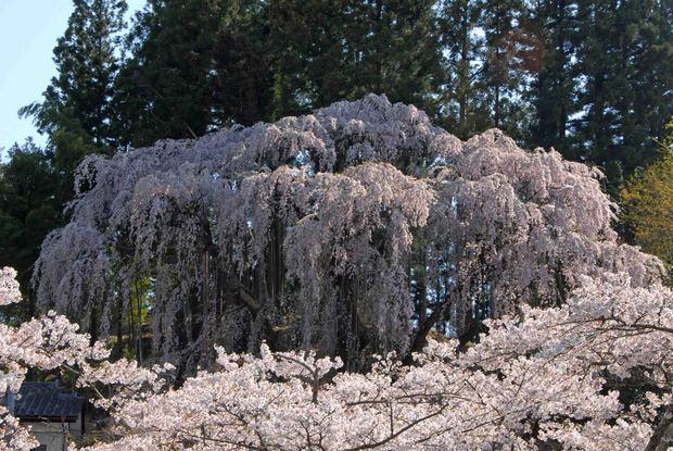 三春滝桜の子孫をたずねて_8.jpg