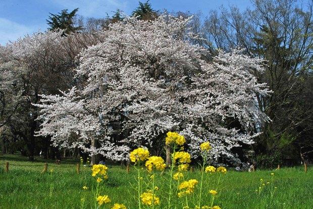 小金井公園の春の花たち(2)_1.jpg