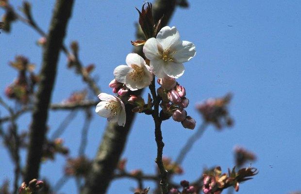 小金井公園の春の花たち(2)_11.jpg