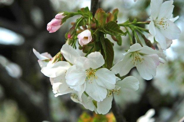 小金井公園の春の花たち(2)_3.jpg