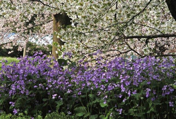 小金井公園の春の花たち(2)_4.jpg