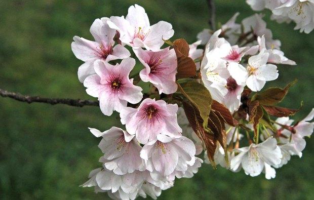 小金井公園の春の花たち(2)_5.jpg