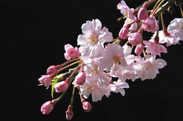 小金井公園の春の花たち(2)_6.jpg