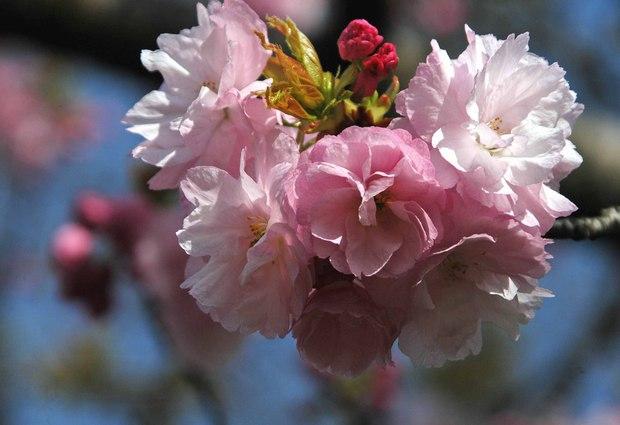 小金井公園の春の花たち(2)_7.jpg