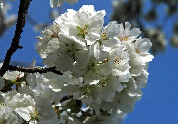 小金井公園の春の花たち(2)_8.jpg