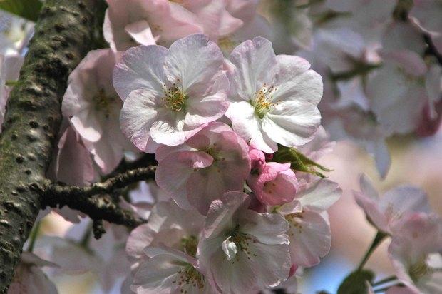 小金井公園の春の花たち(2)_9.jpg