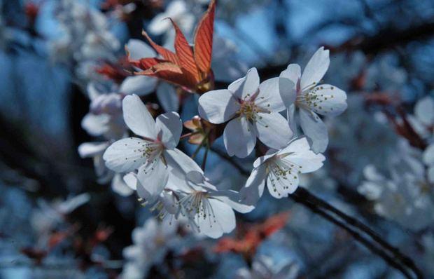 小金井公園の桜2015_10.jpg