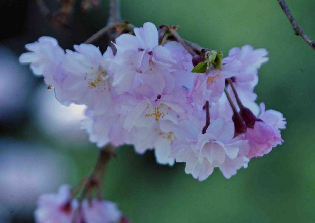 小金井公園の桜2015_11.jpg