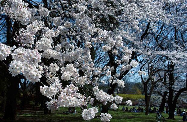 小金井公園の桜2015_12.jpg