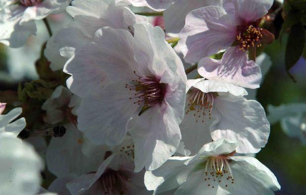 小金井公園の桜2015_2.jpg