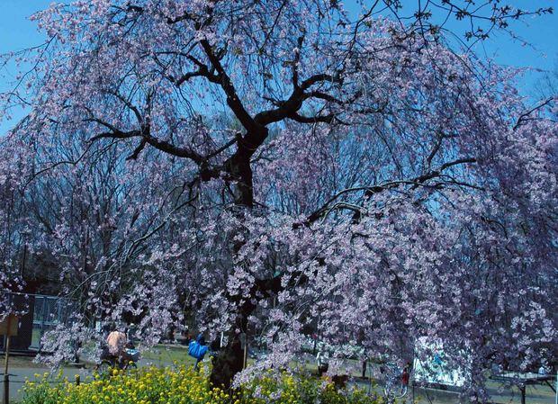 小金井公園の桜2015_3.jpg