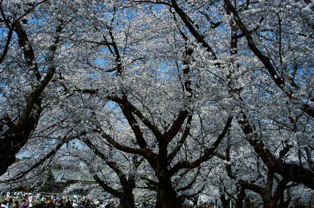 小金井公園の桜2015_5.jpg