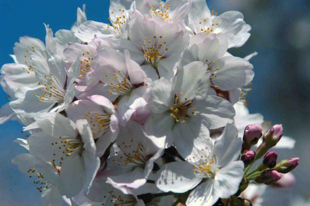 小金井公園の桜2015_6.jpg