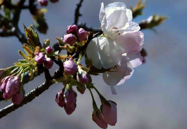 小金井公園の桜2015_8.jpg