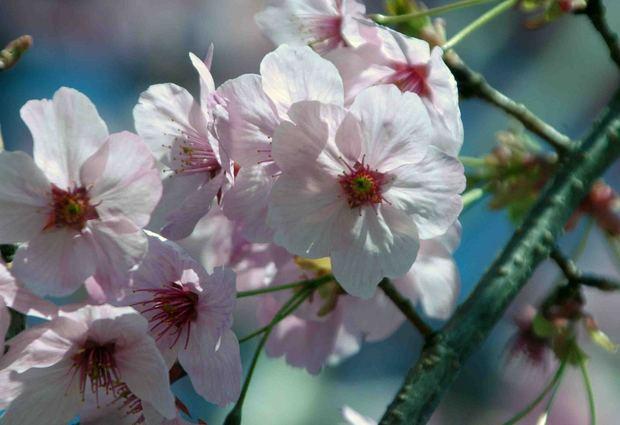 小金井公園の桜2015_9.jpg