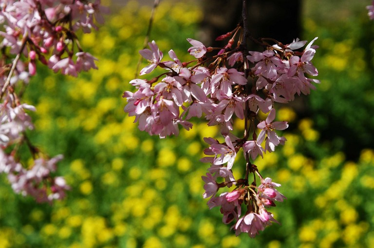 小金井公園春の花_5.jpg